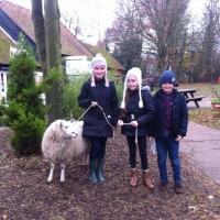 Sheep walking at Weald Park