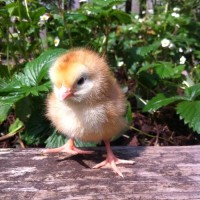 A Rhode Island Red x White Sussex hen chick who hatched just 2 days ago