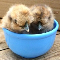 A teacup of silkie chicks