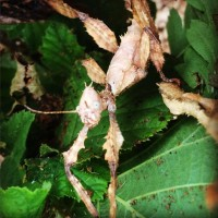 Australian Maclaeys Spectre, or Spiny Stick Insect