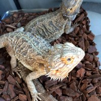 Bearded dragons, Frankie and Bruno