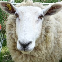Dashy our superstar texal x lleyn sheep