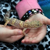 Handling Ember the Leopard Gecko at an Animal Encounters party