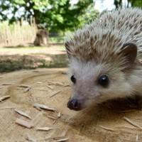 Hettie the African Pygmy Hedgehog