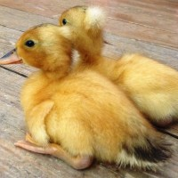Hotdog and Princess the Tufted Appleyard ducklings, 2 of our favourite ducklings ever!