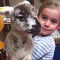 Isabelle giving Reuben the lamb a cuddle