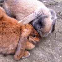 Love birds Captain and Cinnabun our mini lop earred rabbits