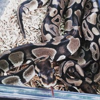 Merlin and Marvelo the Royal Pythons
