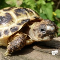 Miles the horsefield tortoise