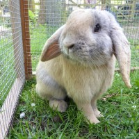 Our male lop earred rabbit called Captain