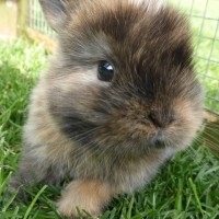 Roxy, one of our mini lop earred rabbit kits