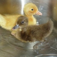 Runner ducklings having a splash in the kitchen sink
