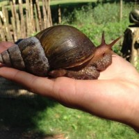 Shelley the African Land Snail having an explore